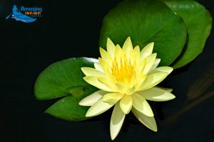 """Two """"Memorable"""" Water Lily Color In North And South"""