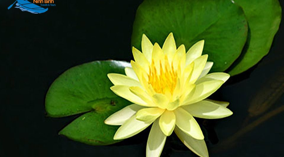 "Two ""Memorable"" Water Lily Color In North And South"