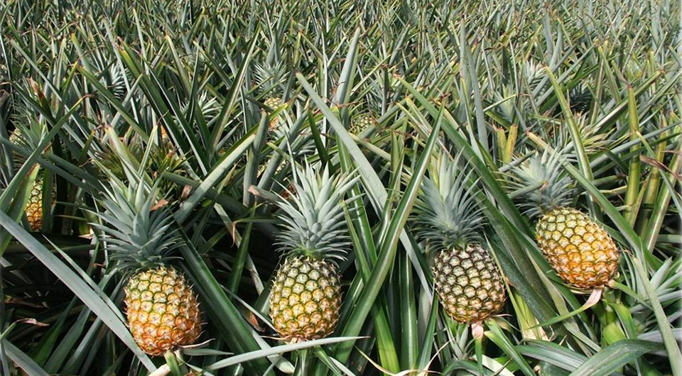 Pineapple season - Dong Giao pineapple field